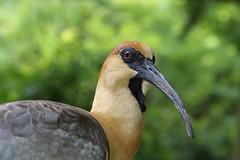 IMG_5992 (CubilMaC) Tags: bird temaiken