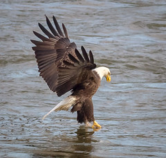 The grab (tresed47) Tags: 2016 201611nov 20161128conowingoeagles birds canon7d conowingo content eagle flightshot folder general maryland peterscamera petersphotos places takenby us ngc