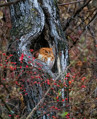 Screech Owl (Mike Matney Photography) Tags: 2016 canon december eos7d grafton illinois midwest mississippiriver screechowl bird birds nature raptor