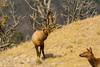 Take a look at me (ChicagoBob46) Tags: bullelk elk cowelk yellowstone yellowstonenationalpark nature wildlife