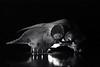 sheep skull (pho-Tony) Tags: thorntonpickardjuniorspecial rolleiretro80s thornton pickard junior special reflex thorntonpickardjuniorspecialreflex thorntonpickard juniorspecial plaubel plaubelco frankfurt frankfurtam anticomar f29 129 15cm 150mm f15cm large format slr singlelensreflex plate 1920s bellows focalplaneshutter rollei retro 80s rodinal bw blackandwhite