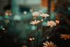 (•:*´¨`*:•.☆Diℓeyℓα ☆•:*´¨`*:•) Tags: flowers dof 50mmf14 50mm nature blur vscofilm hungary nikon vsco garden colorful
