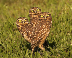 "Family of Burrowing Owls / Athene cunicularia / Buhito Mochuelo (Birding Tours Colombia) Tags: athenecunicularia burrowingowl casanare orinoquia rnsclaesperanza strigiidae bird birds birding birdwatching colombia nature wildlife photography photos neotropics ""danieluribe"" ""birdingtourscolombia"" ave aves conservation ""birdingcolombia"" ""birdsofcolombia"" ""avesdecolombia"" ""birdingtours"" tour tours ""birdingincolombia"" feathers wings ""southamerica"" birdwatcher animal animals animalia outdoors tropical avistamiento flickr art travel outdoor nikkor depthoffield ""birdphotography"" ""wildlifephotography"" fauna avian songbird owl"