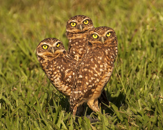 Family of Burrowing Owls / Athene cunicularia / Buhito Mochuelo