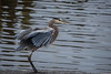 Great Blue - 010117-085410 (Glenn Anderson.) Tags: bird heron beak water stalker hunter river nature telephoto outdoor spear fishing animal capefearriver