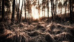 Lost in the Woods (Explore 30/12/2016) 1/156 (markfly1) Tags: lost sunset woods monochromatic heavy contrast backlit countryside britain uk late afternoon sunshine long grass off beaten track nikon d750 24mm sigma art lens