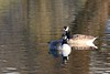 Canada Geese (robin denton) Tags: bird waterbird heslingtonwest nature wildlife york university goose geese brantacanadensis