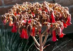 Winter Kalanchoe Flower 🌺 Stalk (Chic Bee) Tags: flowers succulent plant kalanchoetubiflora bryophyllumdelagoense tucson arizona southwesternusa america northamerica