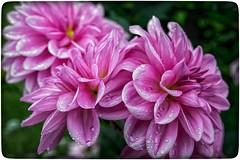 Dahlien (gerdpio) Tags: dahlien gartenblumen blumen flora