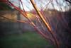 DSC04904 (Old Lenses New Camera) Tags: sony a7r yashica yashinondx ezmatic ezmatic4 38mm f19 plants garden winter tree branches japanesemaple