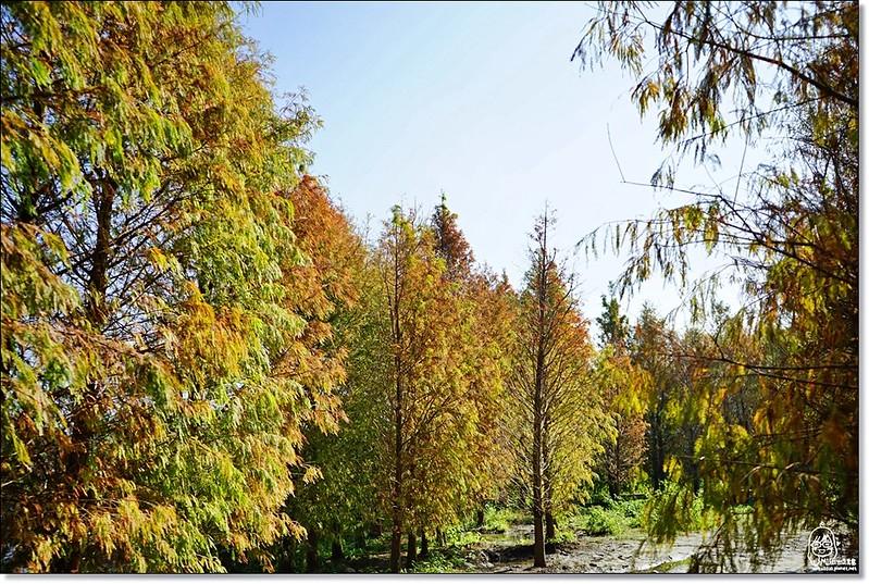 32114728441 71da915de7 c - 『台中。后里』 泰安落羽松林秘境-泰安國小旁/泰安櫻花派出所/冬日限定的那一季松紅。