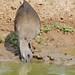 Hadada Ibis (Bostrychia hagedash) foraging in the mud ...