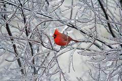 Cardinal (1-14-17) (eightyeightkeys1971) Tags: canon canonrebelt2i cardinal bird birds stlouis sigma ice winter northern