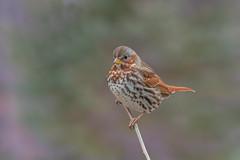 Fox Sparrow (Joe Branco) Tags: outdoors nikond500 nikon canada ontarioparks sparrows photoshopcc2017 lightroomcc2015 branco joe nature joebrancophotography wildlife foxsparrow green