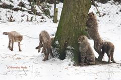 Six Pack (Noodles Photo) Tags: carnivora cat cheetah cheetahcubs acinonyxjubatus animaladdiction raubtier raubkatze cubs canoneos1dmarkiii ef100400mmf4556lisusm burgerszoo niederlande netherlands geparden gepardenbabys