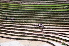 Water Buffalo ploughing Rice Field | Sapa, Vietnam (ynaka29) Tags: ricefields vietnam sapa mountain terracedricefields farmer waterbuffalo