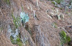 Succulent on Tenerife (Xuberant Noodle) Tags: tenerife canary islands spain plant succulent aeonium