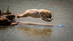 Is it a bird? (Bashed) Tags: bear park lake water fur jump furry wildlife yorkshire dive belly polar splash flop ywp