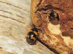 Diaperis boleti (Julian Hodgson) Tags: cambridgeshire coleoptera darklingbeetle tenebrionidae holmefen nationalnaturereserve diaperisboleti greatfen