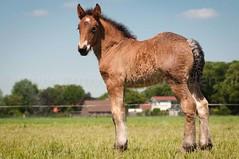 DSC_2694 (Ton van der Weerden) Tags: horses horse dutch de cheval belgian nederlands belges draft chevaux geurts belgisch trait trekpaard smakt trekpaarden kouwehof