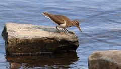Spotted Sandpiper (vischerferry) Tags: bird water rock eos newyorkstate sandpiper animaltracks shorebird birdtracks spottedsandpiper actitusmacularius canon70d