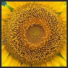 Yellow beauty (Deb Jones1) Tags: flowers flower macro floral beauty yellow canon garden square outdoors flora sunflower flickrduel debjones1