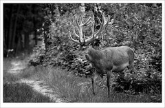 close encounter (erikoo) Tags: bw wildlife deer antler hert edel gewei edelhert nationaalparkdehogeveluwe