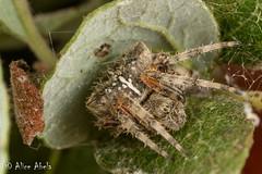 Araneus gemma - Immature (aliceinwl1) Tags: arachnid arachnida araneae araneidae araneomorphae araneus araneusgemma arthropod arthropoda ca california entelegynes guadalupe osoflaco osoflacodunes osoflacolake sanluisobispocounty gemma locpublic orbweaver spider truespider viseveryone