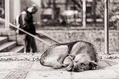 Dreamer (AriCaFoix) Tags: chile street santiago bw dog pet abandoned canon subway 50mm calle metro bn perro salvador stray duotone mascota xsi abandonado callejero duotono ef50mmf14usm 450d