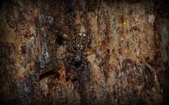 bark salticid genus unknown (dustaway) Tags: arachnida araneomorphae araneae salticidae jumpingspider australianspiders tamborinemountain bark sequeensland queensland nature australia genus mounttamborine spinne