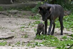 Timberwolf (Michael Döring) Tags: gelsenkirchen bismarck zoomerlebniswelt zoo timberwolf lupus sp150600 d7200 michaeldöring inexplore
