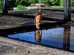 ,, Mama on Roof ,, (Jon in Thailand) Tags: trees roof shadow dog reflection water tongue eyes nikon tail cement drinking ears mama jungle ripples nikkor k9 d300 flatroof 175528 thelittledoglaughed littledoglaughedstories abandonabusedstreetdogs
