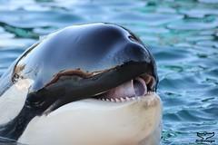 IMG_7351 (Bebelouga) Tags: valentin killerwhale antibes marineland freya orcas moana keijo orques inouk wikie
