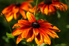 Summer Color (Diane Marshman) Tags: summer orange brown plant flower macro green nature leaves yellow closeup garden landscape petals stem pennsylvania blossoms large center pa heads tall northeast perennial blooming