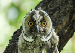 Long-eared Owl fledgling, Turkey (ebuechley) Tags: bird turkey scenery wildlife conservation owl longeared asio otus
