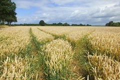 Weizenfeld (Elbmaedchen) Tags: sommer felder muster korn kornfeld weizenfeld