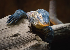 150721KomodoDragon-1 (Molly Goossens) Tags: animal zoo reptile komododragon minnesotazoo tropicstrail