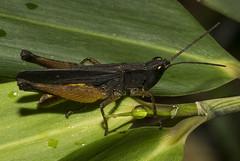 Gafanhoto marrom (Orthoptera) (Enio Branco) Tags: nature rainforest wildlife natureza bugs macrophotography mataatlântica macromundo artropods sosmataatlântica macromaniaanimalgroup