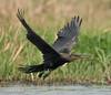 Heading for 2017..... (Jambo53 (catching up)) Tags: robertkok jambo53 nature natuur wildlife aves bird kasane botswana afrika africa nikond700 nikkor600mmf40 chobe wings flight vlucht vleugels vogel opstijgen takingoff