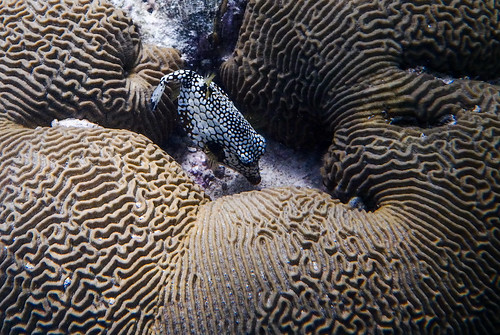 Smooth Trunk fish in brain coral