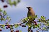 Cedar waxwing (Bloui) Tags: 2016 botanicalgarden eos7d jardinbotanique may spring montréal québec jaseurdamérique jaseur bird tree cherry jaseurdescèdres bombycillacedrorum cedarwaxwing waxwing