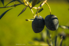 Olives #1 (ILO DESIGNS) Tags: aceituna acercamiento color flora invierno naturaleza oliva olivar olivo olives nature d3300 closeup macro tree sevilla spain europe mediterranean green