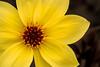 Beautiful Yellow Dahlia 3-0 F LR 4-30-16 J262 (sunspotimages) Tags: flower flowers dahlia dahlias nature yellow