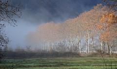 platanes (b.four) Tags: brume mist nebbia platane malaussène alpesmaritimes platano planetree richardwagner ruby10 ruby15 ruby20