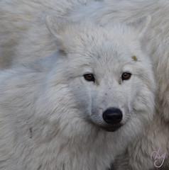 Loups blancs Omega (4) (DomyNature) Tags: parcomega loupblanc