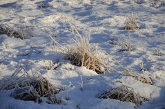 _TRW7462 Frosted Grass (terrificphotos) Tags: juneauaalaska twinlakes dogs frost trees raven evergreen icecrystals hockey