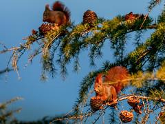 Little rascals (Sergio '75) Tags: squirrel animals winter wildlife colorful colors sigma150600mmf563dgoshsmc canon canoneos70d nature natura natur naturaleza naturallight natural naturephotography naturephotograph italy italia sunny sergio sergio75 scoiattoli scoiattolocomune scoiattolorosso redsquirrel