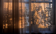 Fifty Shades on a Curtain (Bernd Thaller) Tags: evening sunset curtain plant leaves shade shadow orange gray backlight