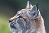 I Spy (blootoonloon1( No to Badger Cull)) Tags: lynx cat captive animal nature wldlfe park highlands scotland