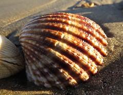 7083 Shell in the sun (Andy - Busyyyyyyyyy) Tags: 20170114 bbb beach greatstone kent sand seashell shells sss
